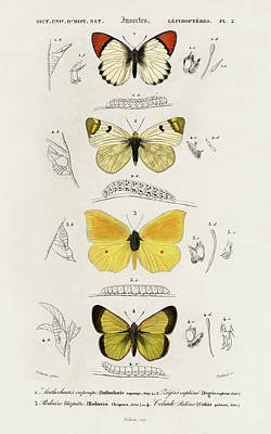 Painting - Different Types Of Illustrated Butterfly by Charles Dessalines D' Orbigny