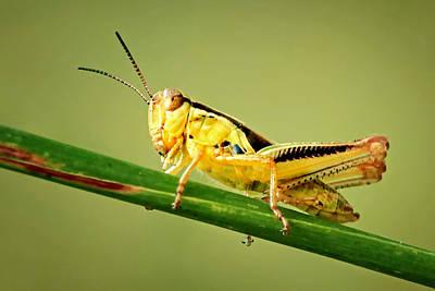 Photograph - Differential Grasshopper by Carolyn Derstine