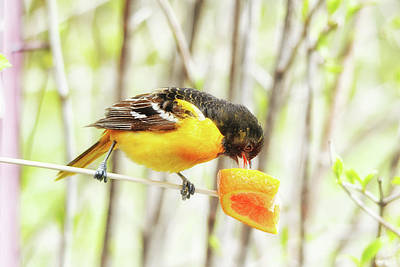 Oriole Wall Art - Photograph - Digging Right In by Susan Capuano