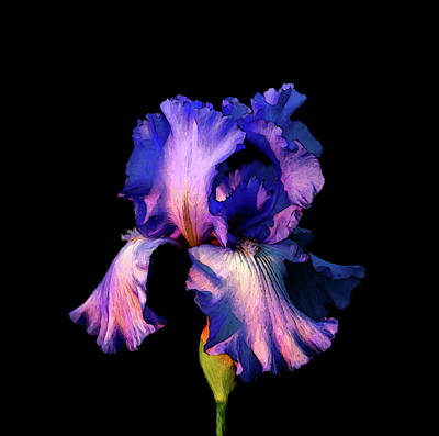 Photograph - Digital Painting Cropped Lavender Iris In Darkness 6724 Dp_3 by Steven Ward