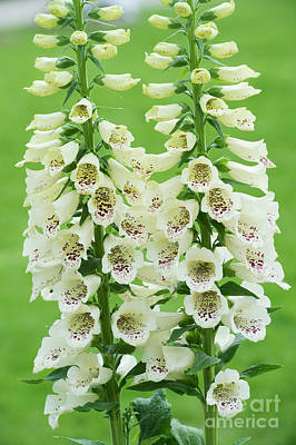 Foxglove Flowers Photograph - Digitalis Purpurea Primrose Carousel by Tim Gainey