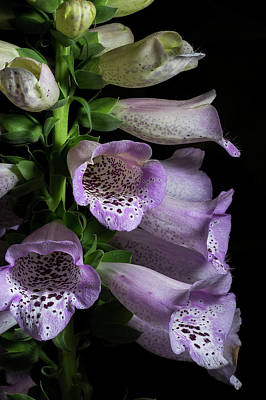Digitalis Purpurea Art Print by Richard Rizzo