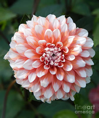 Photograph - Dahlia Flower- Soft Pink Tones by Dave Nevue