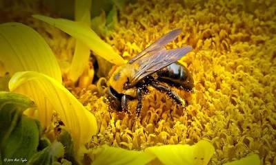 Diligent Pollinating Work Art Print by Matt Taylor