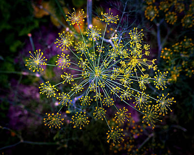 Photograph - Dill Going To Seed by Bill Swartwout