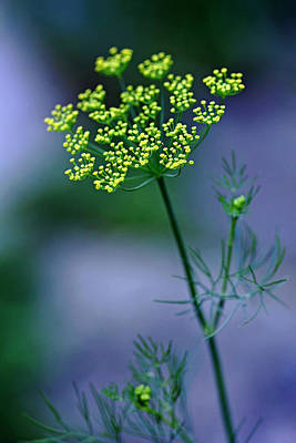 Photograph - Dill Sprig by Debbie Oppermann