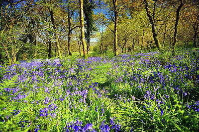 Photograph - Dinefwr Bluebell Walk by Phil Fitzsimmons