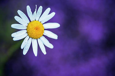 Photograph - Single Daisy With Purple Background by Vishwanath Bhat