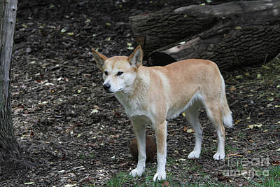 Photograph - Dingo #3 by Judy Whitton