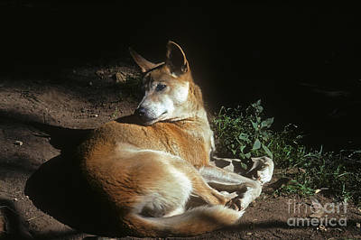 Photograph - Dingo - Australia by Phil Banks