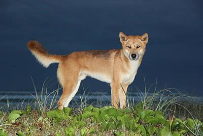 Photograph - Dingo by Gary Crockett