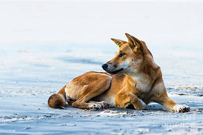 Photograph - Dingo On Fraser Island Beach by Andrew Michael