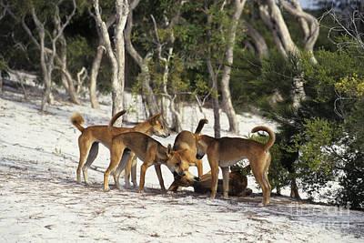 Dingos Defending Territory Art Print by Jean-Louis Klein & Marie-Luce Hubert