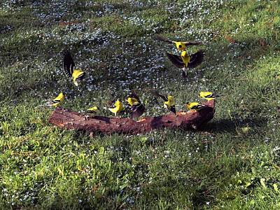 Photograph - Goldfinch Convention by Nick Kloepping