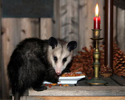 Photograph - Dining Possums V by Ron Romanosky