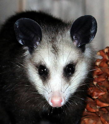 Photograph - Dining Possums Vii by Ron Romanosky