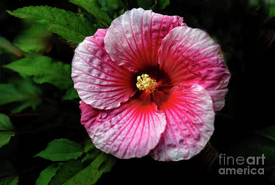 Photograph - Dinner Plate Hibiscus by Robert Bales