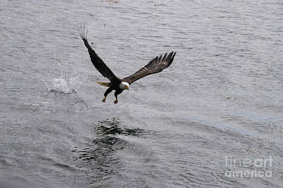 Photograph - Dinner? Prince Rupert Eagle  by Louise Magno