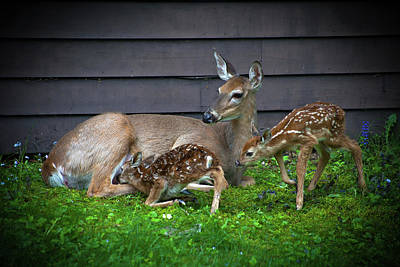 Twin Fawns Photograph - Dinner Time by David Patterson