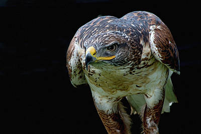 Photograph - Dinner Time Hawk by Cliff Norton