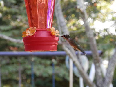 Photograph - Dinner Time Hummingbird by Belinda Lee