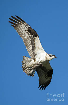 Osprey Wall Art - Photograph - Dinner To Go by Mike Dawson