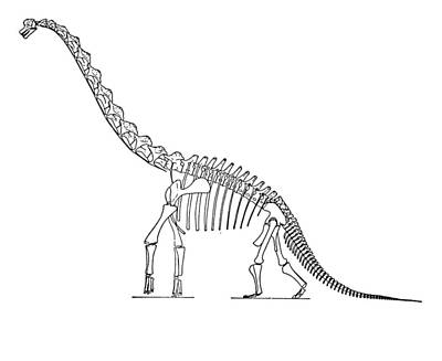 Brachiosaur Photograph - Dinosaur: Brachiosaurus by Granger