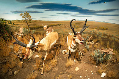 Pronghorn Photograph - Diorama by Todd Klassy