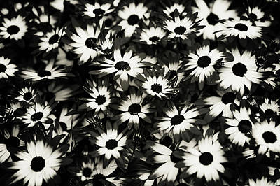 Photograph - Dip Dyed Daisies. Black And White by Jenny Rainbow