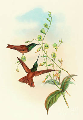 Hummingbird Drawing - Diphogena Aurora by John Gould