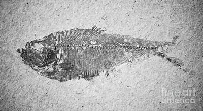 Photograph - Diplomystus Fossil Fish Macro From Green River Formation Wyoming Black And White by Shawn O'Brien