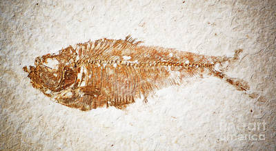 Photograph - Diplomystus Fossil Fish Macro From Green River Formation Wyoming Diffuse Glow Digital Art by Shawn O'Brien