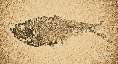 Photograph - Diplomystus Fossil Fish Macro From Green River Formation Wyoming Rustic Digital Art by Shawn O'Brien