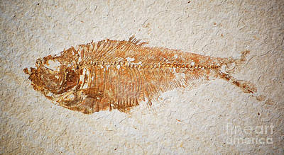 Photograph - Diplomystus Fossil Fish Macro From Green River Formation Wyoming by Shawn O'Brien