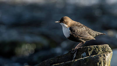 Photograph - Dipper by Torbjorn Swenelius