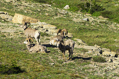 Photograph - Directional Big Horn Sheep by Louise Magno
