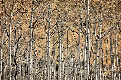 Photograph - Disappear Into The Aspen by Doug Sturgess