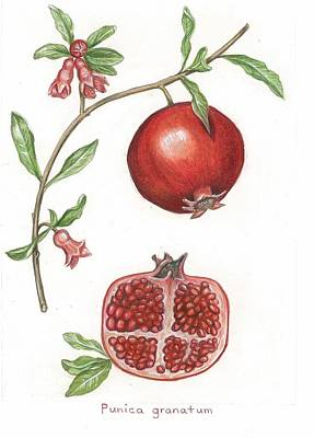 Dissection Of A Pomegranate Art Print