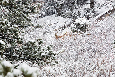 Steven Krull Royalty-Free and Rights-Managed Images - Distant Deer in Heavy Snow in the Pike National Forest by Steven Krull