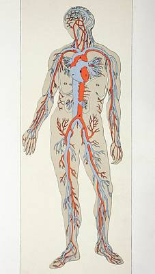 Distribution Of Blood Vessels In The Art Print