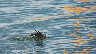 Bay Photograph - Dive, Dive, Dive, Cormorant, Morro Bay, California by Flying Z Photography By Zayne Diamond