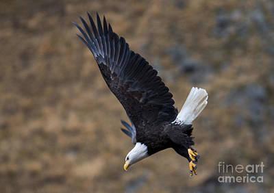 Eagle Photograph - Dive by Mike Dawson