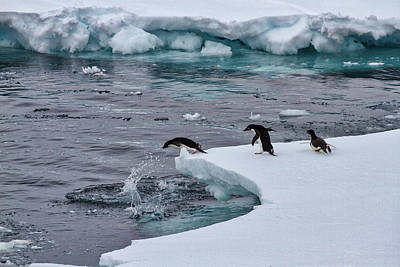 Photograph - Diving Adelie Penguins by John Haldane