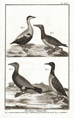 Loon Digital Art - Diving Birds, Loons, Sea Ducks - Antique Engraving by Antique Images