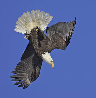 Eagle Photograph - Diving Eagle by Tim Grams