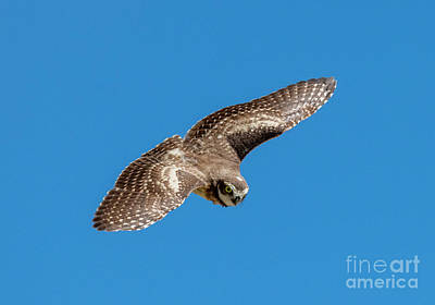 Burrowing Owl Wall Art - Photograph - Diving For Home by Mike Dawson