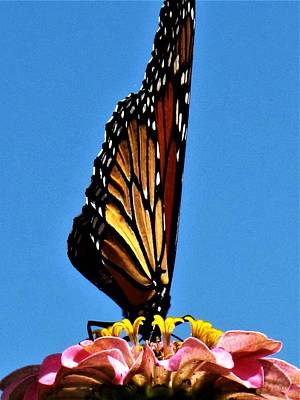 Photograph - Diving For The Nectar by Frank Chipasula