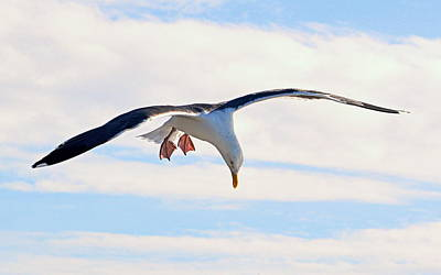 Photograph - Diving Gull by AJ Schibig