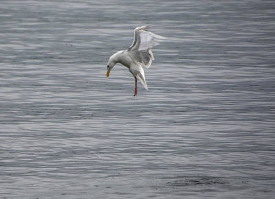 Wall Art - Photograph - Diving Gull by Maureen Janson Heintz