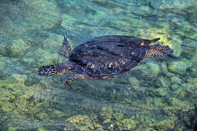 Photograph - Diving Honu by Pamela Walton